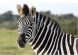 Deu_Zebra_Capa